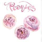 pivoines roses d'aquarelle Image stock