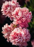 Pivoines roses et blanches dans le jardin Images stock