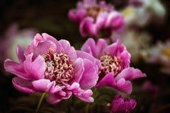 Pivoines roses et blanches dans le jardin Photos libres de droits