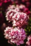 Pivoines roses et blanches dans le jardin Photo stock