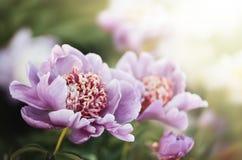 Pivoines roses et blanches dans le jardin Photos stock