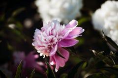 Pivoines roses et blanches dans le jardin Photo libre de droits
