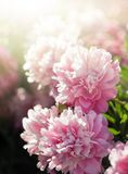 Pivoines roses et blanches dans le jardin Images libres de droits