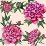 Pivoines roses peintes à la main Pivoine avec des bourgeons et des feuilles, aquarelle illustration de vecteur