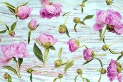 Pivoines roses photographie stock libre de droits