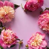 Pivoines roses sur le fond pourpre Photo stock