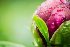 Pivoines rouges fleurissant dans le jardin Images libres de droits