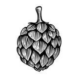 Piwna chmiel ilustracja w rytownictwo stylu odizolowywającym na białym tle Projektuje element dla loga, etykietka, emblemat, znak ilustracja wektor