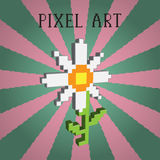 Pixel camomile. Pixel style 3d  white camomile Stock Photography