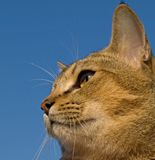 Pixie-Bob. The cat is against the blue sky Royalty Free Stock Images