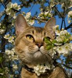 Pixie-Bob. The cat is in flowers Stock Photography
