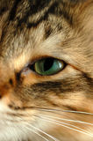Pixie-Bob Eye. Pixie-Bob close-up eye royalty free stock photography
