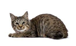 Pixie Bob-Katzenkätzchen, welches die Seitenweisen lokalisiert auf weißem Hintergrund niederlegt und zur Kamera schaut stockbilder