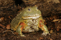 Pixie Frog Stock Photo