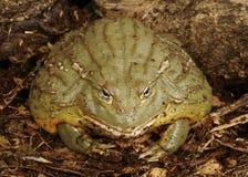 Pixie Frog Stock Image