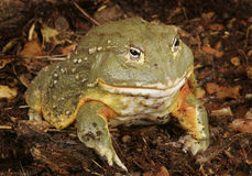 Pixie Frog Royalty Free Stock Photography
