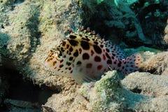 Pixie hawkfish Stock Image