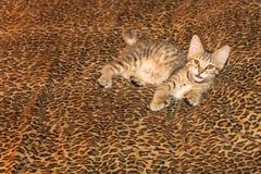Pixiebob-Kätzchen auf Leopardblättern Stockfotografie