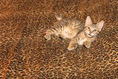Pixiebob Kitten on Leopard sheets Stock Photography
