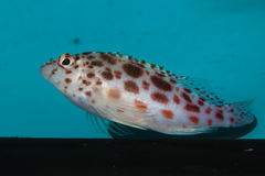 Pixy, επισημασμένο Hawkfish Στοκ Εικόνες