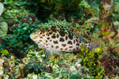 Pixy hawkfish in Ambon, Maluku, Indonesia underwater photo Royalty Free Stock Photography