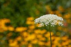 Pizzo del ` s della regina Anne in un campo della margherita gialla fotografie stock