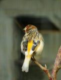 Pájaro amarillo Imagen de archivo libre de regalías