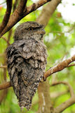 Pájaro australiano Fotografía de archivo libre de regalías