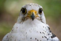 Pájaro blanco del halcón Foto de archivo