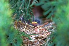 Pájaro de bebé Foto de archivo libre de regalías