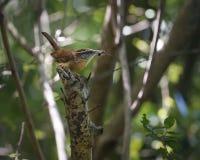 Pájaro de Carolina Wren que recolecta la comida del insecto para los polluelos Fotos de archivo libres de regalías