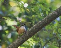 Pájaro de Carolina Wren que recolecta la comida del insecto para los polluelos Foto de archivo