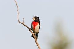 Pájaro de Rose Breasted Imagenes de archivo