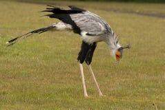 Pájaro de secretaria Imágenes de archivo libres de regalías