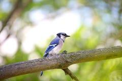 Pájaro del arrendajo azul Fotografía de archivo