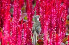 Pájaro del gorrión en una flor roja Foto de archivo