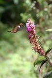 Pájaro del tarareo que bebe de una flor Foto de archivo