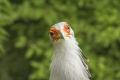 Pájaro despredador grande, sagitario Serpentarius Imagen de archivo libre de regalías
