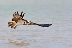 Pájaro hermoso de Osprey Imágenes de archivo libres de regalías