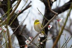 Pájaro japonés del blanco-ojo Foto de archivo