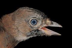 Pájaro joven de Jay del eurasiático Foto de archivo libre de regalías