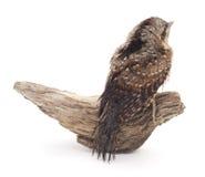 Pájaro joven en la rama Imagenes de archivo