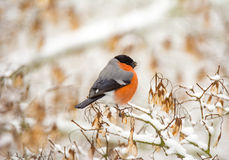 Pájaro masculino del piñonero del eurasion que se sienta en un árbol nevado Foto de archivo libre de regalías
