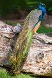 Pájaro masculino salvaje del pavo real que se sienta en árbol seco viejo en bosque Fotos de archivo libres de regalías