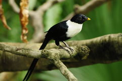 Pájaro --- Myna Blanco-necked Imagen de archivo libre de regalías