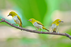 Pájaro oriental del Blanco-ojo Fotos de archivo libres de regalías