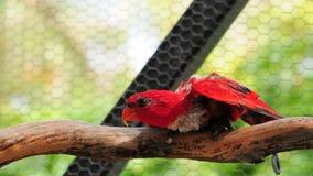 Pájaro rojo de Lorikeet Imágenes de archivo libres de regalías
