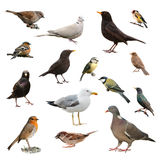 Pájaros británicos del jardín Fotos de archivo
