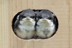 Pájaros de bebé en una casa del pájaro Imagenes de archivo