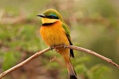 Pájaros de Tanzania Foto de archivo